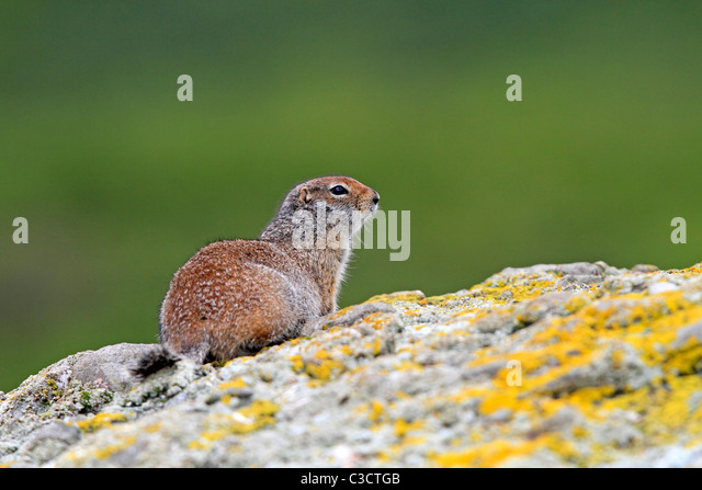 Arctic Ground Squirrel (Spermophilus parryii). Adult on a rock. McNeil River Bear Viewing and Wildlife Sanctuary, - Stock-Bilder
