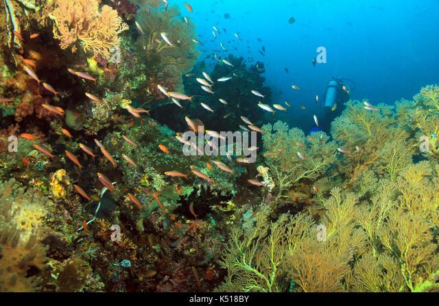 Scuba Diving in Dampier Strait, Raja Ampat, Indonesia - Stock Image