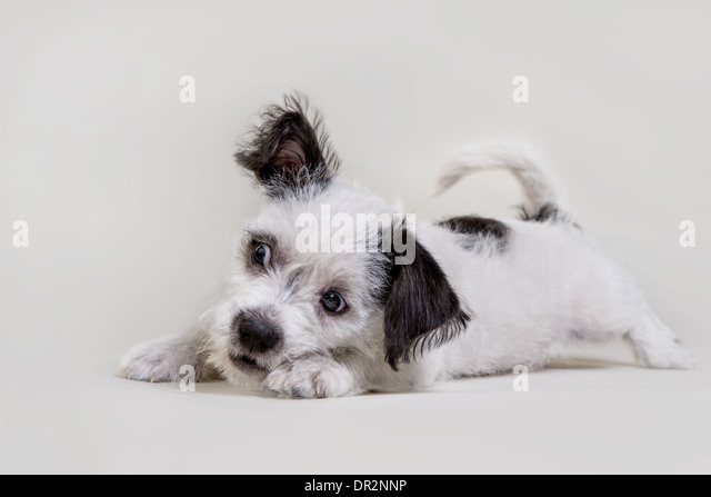 Playful terrier puppy on light grey studio backdrop. - Stock Image