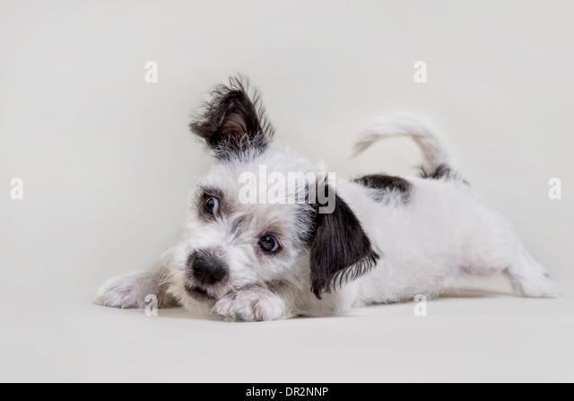 Playful terrier puppy on light grey studio backdrop. - Stock Image
