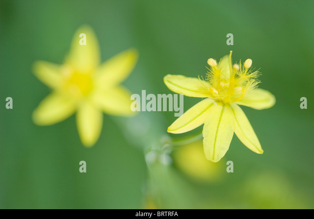Yellow flowered form of Bulbine,frutescens in macro with smooth green background - Stock Image