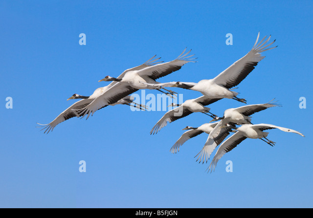 Red crowned cranes flying North China - Stock Image
