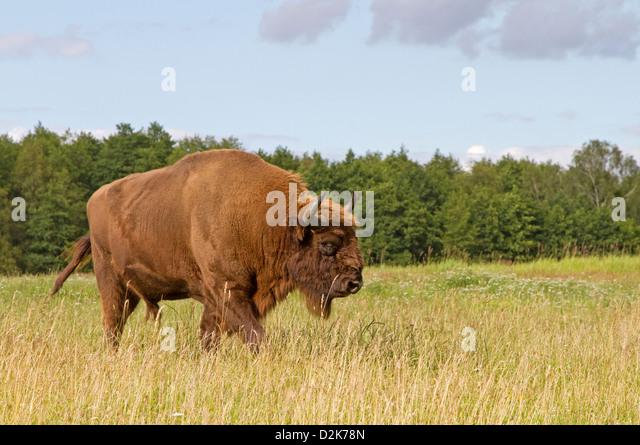 European bison / Bison bonasus - Stock-Bilder
