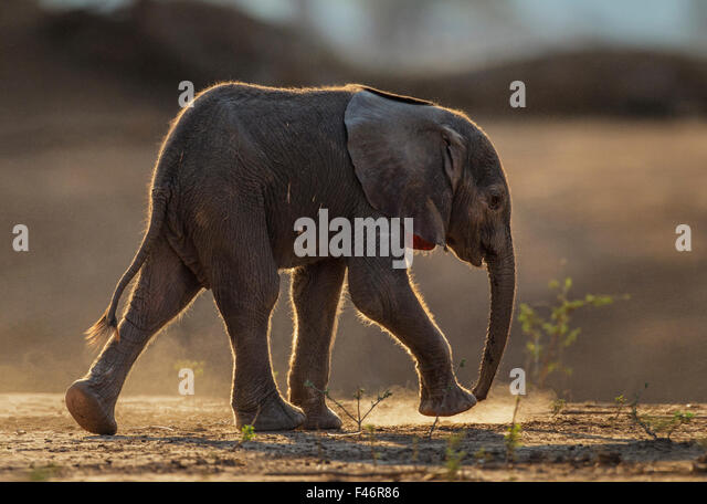African Elephant (Loxodonta africana) very young baby walking profile, Mana Pools National Park, Zimbabwe, October - Stock Image