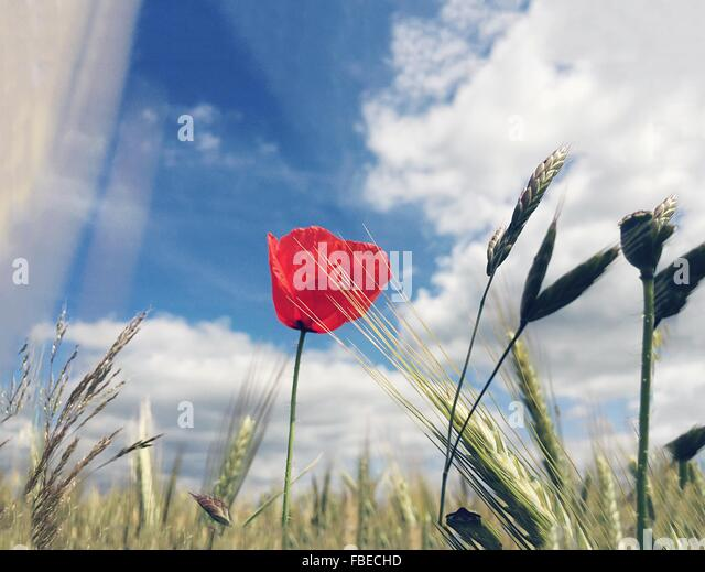 Wheat Plants And Red Flower Blooming Against Cloudy Sky - Stock Image