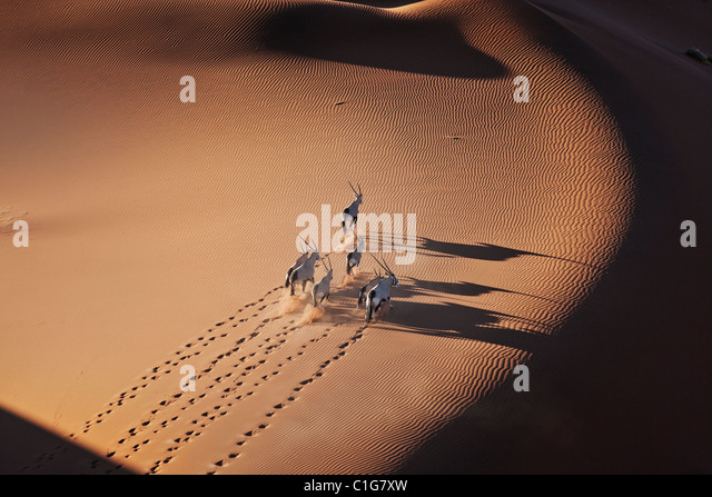 Gemsbok (Oryx gazella) In typical desert habitat Namibian desert sand dunes - Stock-Bilder