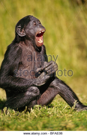 Bonobo juvenile laughing, Pan paniscus, Native to Democratic Republic of Congo - Stock-Bilder