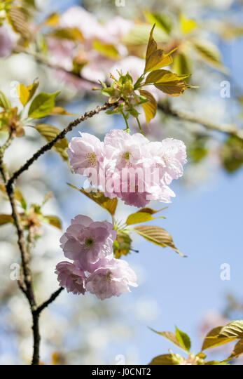 Prunus Hokusai, Japanese flowering cherry tree blossom, UK, close up - Stock Image