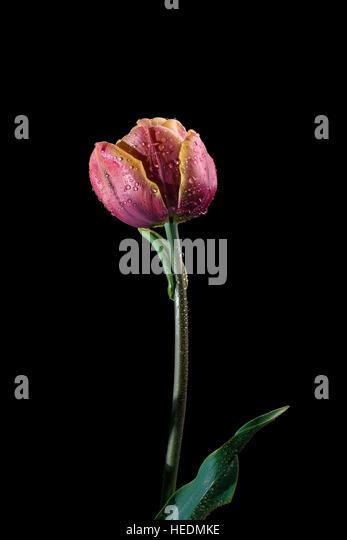 Douple Late type tulip 'la Belle Epoque' - Stock Image