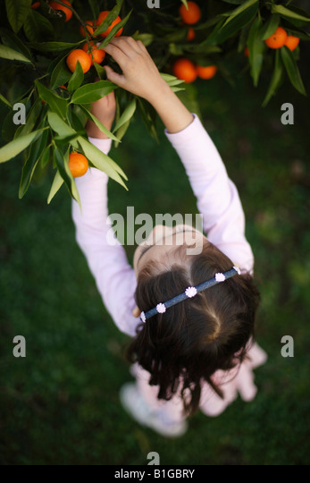 Girl aged four picks oranges from tree in garden - Stock Image