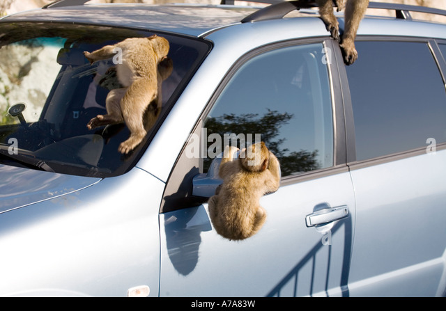 Three Gibraltar Apes clambering over a car, Gibraltar, Europe, - Stock Image