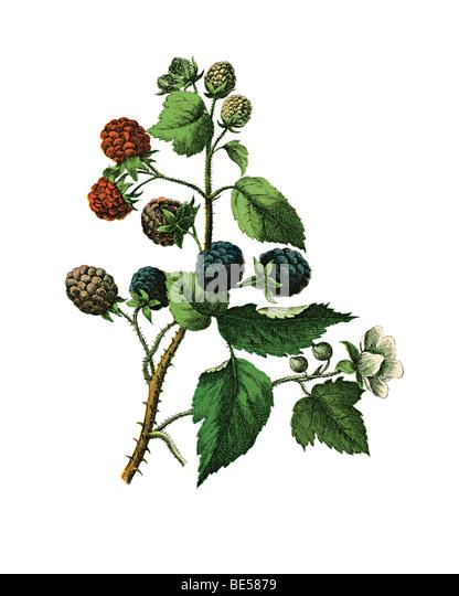 Blackberry, historical illustration - Stock-Bilder