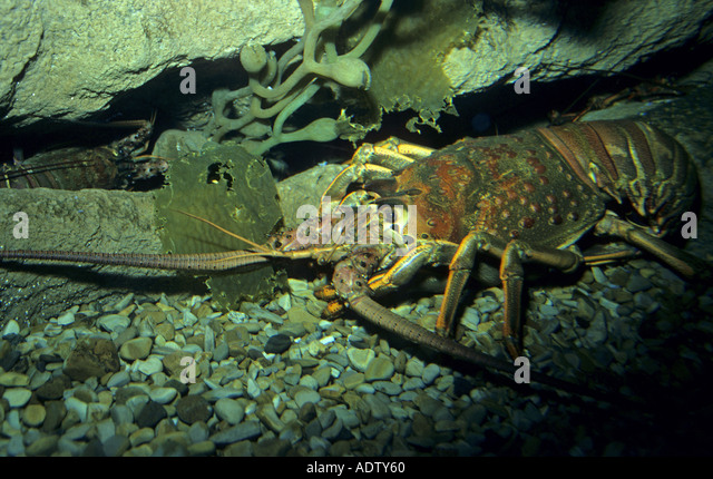California spiny lobster stock photos california spiny for Lobster fishing california