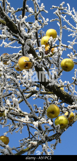 frozen apples on a tree gefrohrene Äpfel an einem Baum - Stock-Bilder