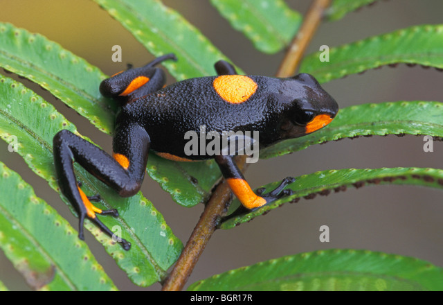 Harlequin Poison Frog (Dendrobates histrionicus), adult, Risaralda, Colombia - Stock Image