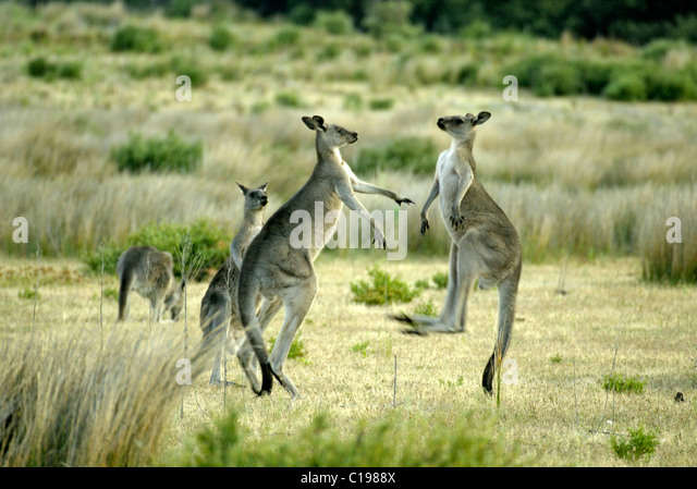 Eastern Grey Kangaroo (Macropus giganteus), adults fighting, Australia - Stock Image