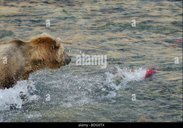 Brown bear or grizzly bear, Ursus arctos horribilis, hunting salmon - Stock Image