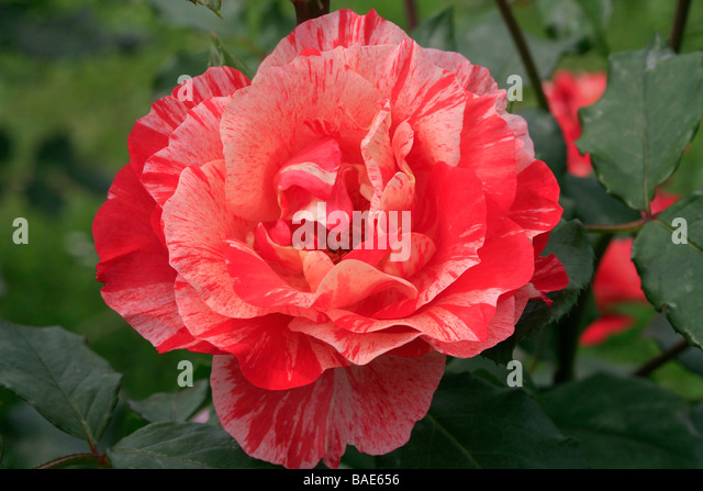 Rosa floribunda 'Grimaldi' - Stock Image