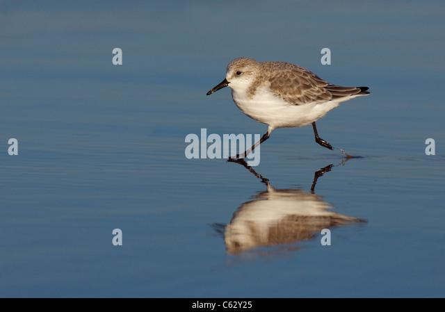 SANDERLING Calidris alba An adult running through coastal shallowsLincolnshire, UK - Stock-Bilder