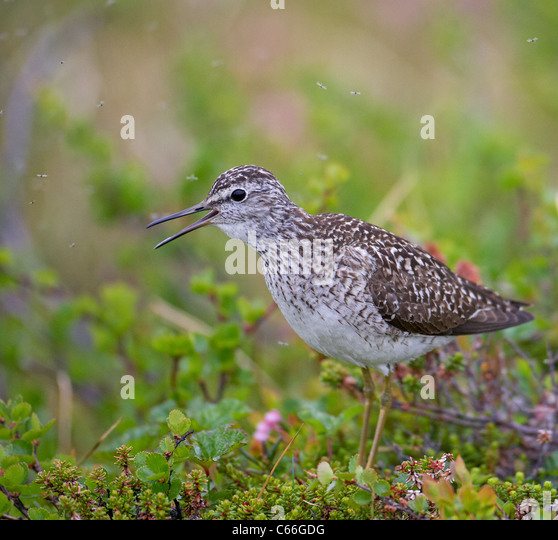 Wood Sandpiper (Tringa glareola) standing in tundra vegetation while calling. - Stock Image