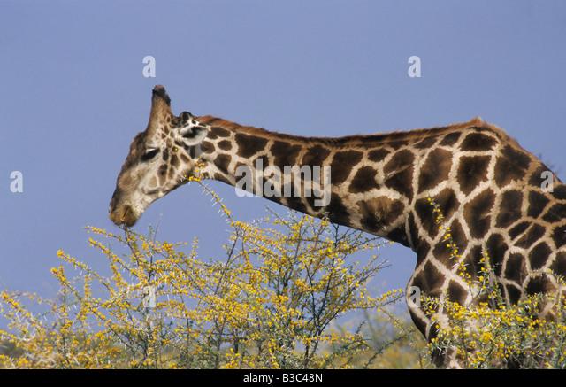 Reticulated Giraffe Giraffa camelopardalis reticulata adult eating acacia Namibia Africa - Stock Image