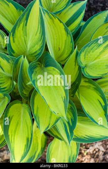 Yellow green leaves of Hosta June, Hostaceae, Plantain Lily - Stock Image