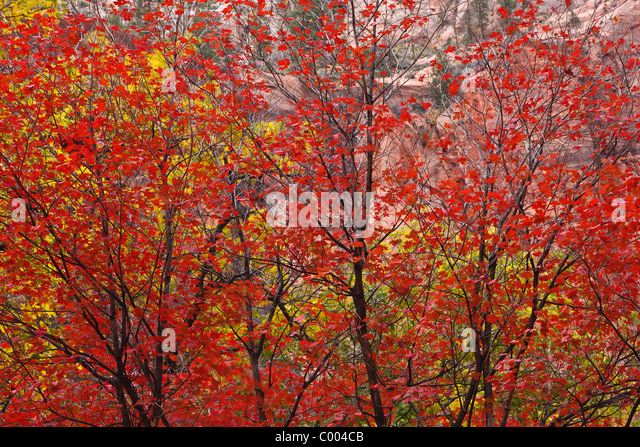 Big Tooth Maples in peak fall color in Zion Canyon, Zion National Park, Utah, USA. - Stock Image