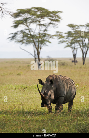 White rhino grazing on the short grasses of Lake Nakuru National Park in Kenya - Stock Image