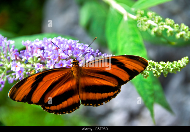 Orange and black striped Tiger butterfly taking nectar in a natural lush habitat - Stock Image