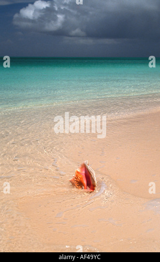 Conch shell on beach Turks and & Caicos Islands - Stock Image