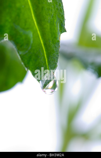 leaf with a drop. Isolation on white - Stock Image