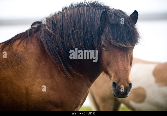 Wild Horses, South Iceland, Iceland, Polar Regions - Stock-Bilder
