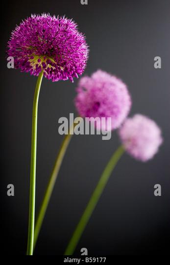 Three Alliums - Stock Image