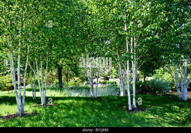 Silver birch garden stock photos silver birch garden for Silver birch trees for small gardens