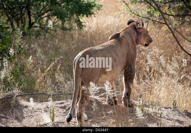 Lion keeps watch in the bush. Antelope Park, Zimbabwe - Stock Image