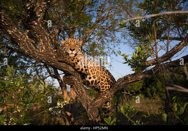 A Jaguar climbs a small tree on the Cerrado of Central Brazil - Stock Image