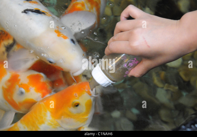 Pampered fish in world expensive stock photos pampered for Most expensive koi fish