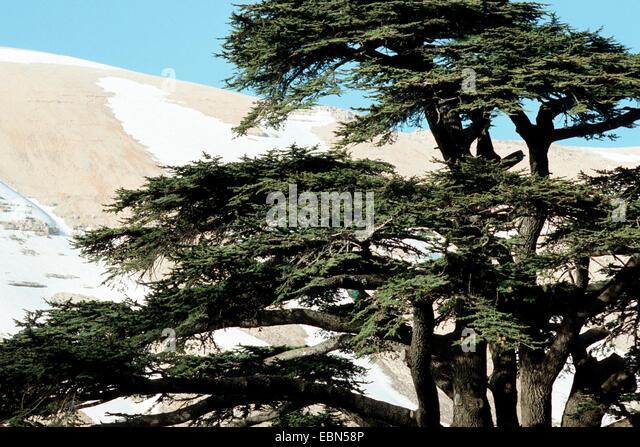 cedar of Lebanon (Cedrus libani libani), in the mountains - Stock Image