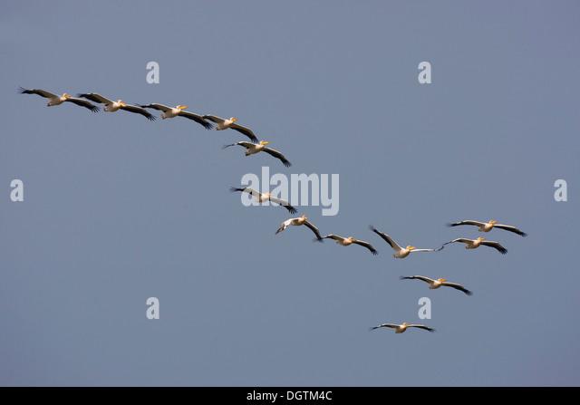 Great White Pelicans (Pelecanus onocrotalus), Danube Delta, Romania, Europe - Stock Image