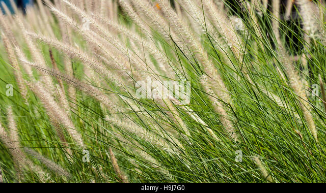 Flowering grass during on sunset. Closeup shot - Stock-Bilder