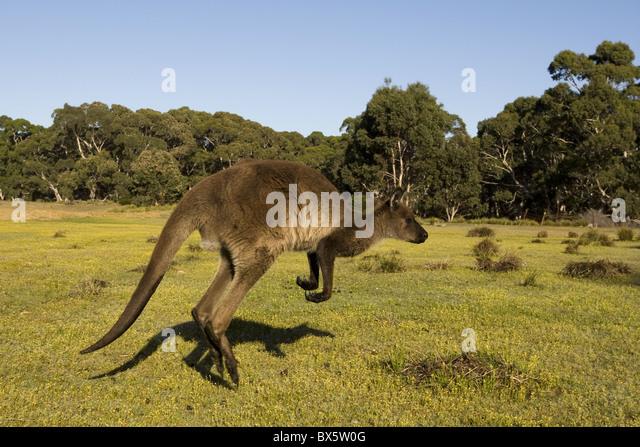Kangaroo Island grey kangaroo (Macropus fuliginosus), Flinders Chase National Park, Kangaroo Island, South Australia, - Stock Image