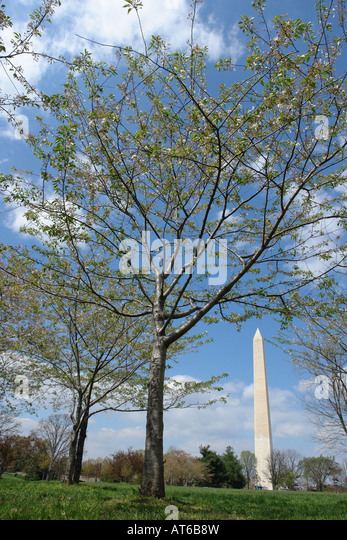 Washington Monument and Trees in Washington DC USA - Stock Image