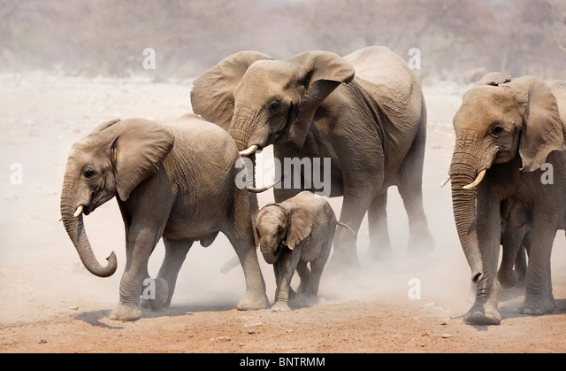 Elephant herd approaching over dusty plains of Etosha National Park - Stock Image