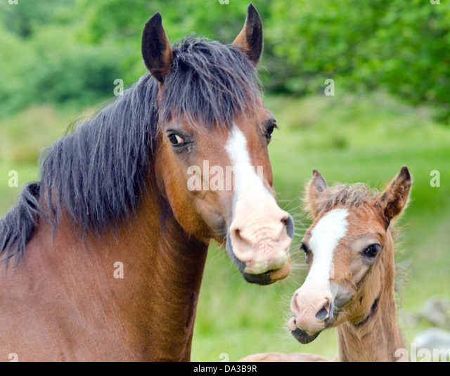 horse eating apple stock photos amp horse eating apple stock