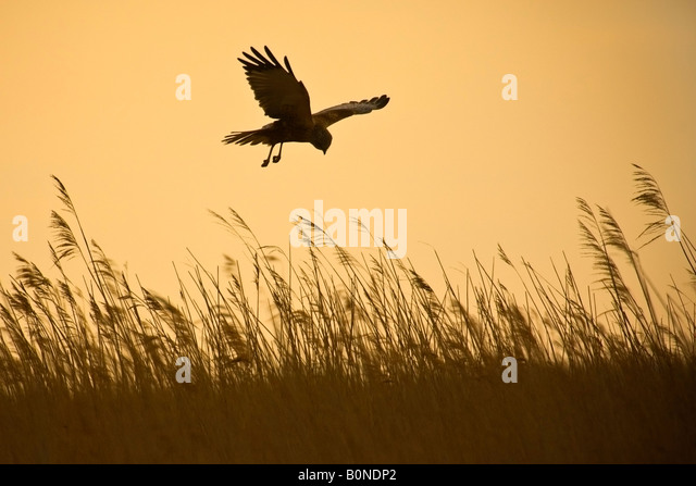 Marsh harrier Circus aeruginosus male in flight hunting over reedbed in early morning, Norfolk - Stock Image