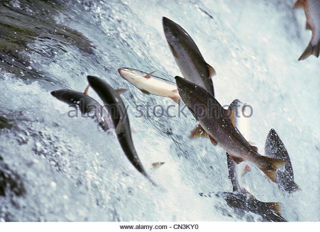 Sockeye salmon, Alaska, USA - Stock Image