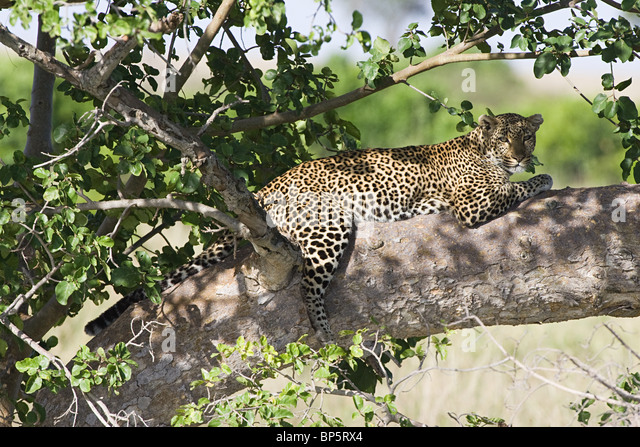 Leopard in shade of tree - Stock Image