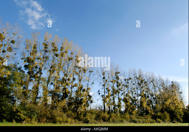 Mistletoe growing on line of Poplar trees, Indre, France. - Stock Image