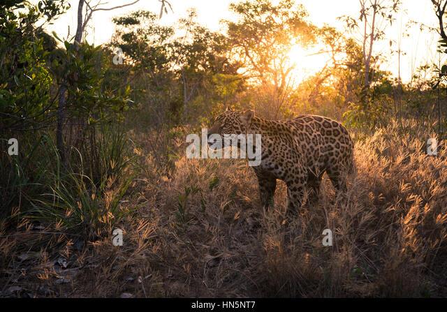 Jaguar on a grassland in Central Brazil - Stock Image