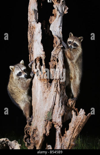 Northern Raccoon Procyon lotor pair climbing tree Sinton Corpus Christi Coastal Bend Texas USA - Stock Image